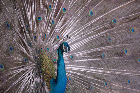 blue peafowl: Indian Blue Peafowl with open tail closeup