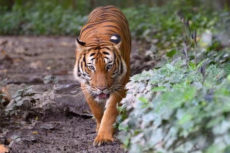 Tiger walking along the green bushes photo