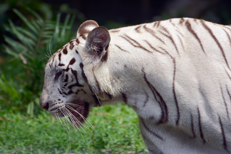 bengal: White Bengal Tiger in profile Stock Photo