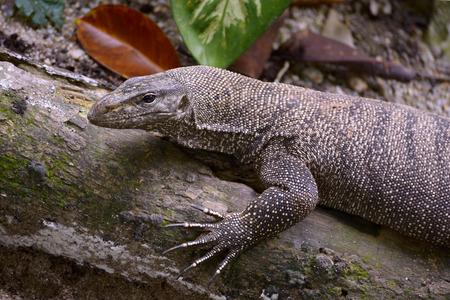 Portrait of clouded monitor lizard