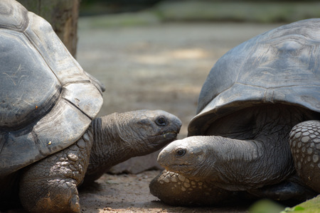 Two very large Galapagos tortoise