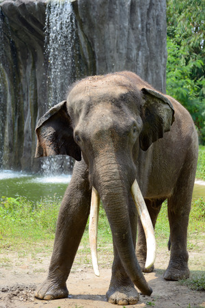waterfall  dirty: Indian elephant near a waterfall Stock Photo
