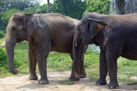Two Indian elephant near a waterfall