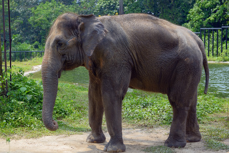 Indian elephant near a pond Stock Photo