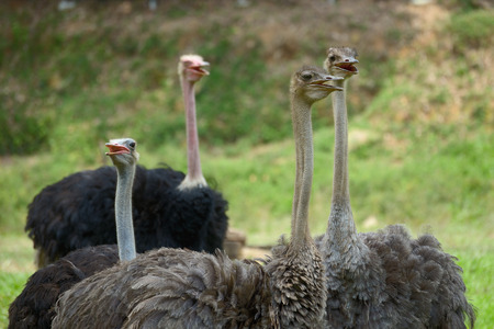 Flock of ostriches close up Stock Photo