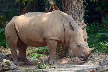 Huge rhino standing near the tree