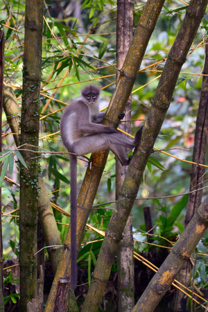 dusky: Dusky leaf monkey in the jungle