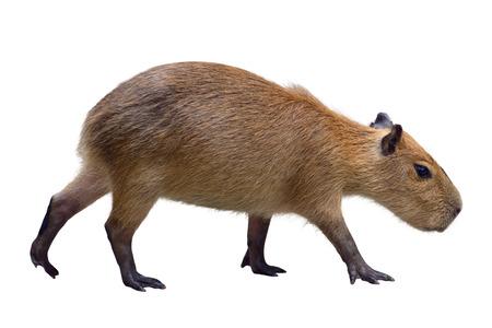 Capybara isolated on white Stock Photo