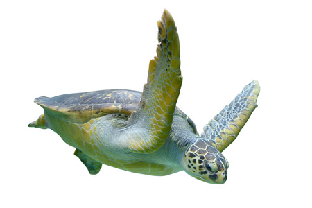 Sea turtle isolated on white background Standard-Bild