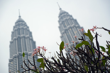 Kuala Lumpur, Malaysia - November 5, 2014: Flowering bush on a background of Petronas Twin Towers, the main attractions of Kuala Lumpur. This is the highest twin towers in the world.