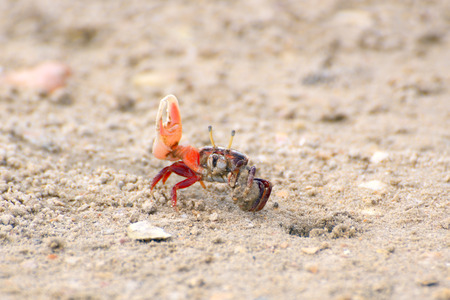 fiddler: Fiddler crab near a mink in sand rolls the ball out of the sand