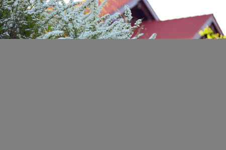 Blossoming spiraea bush against the house Stockfoto