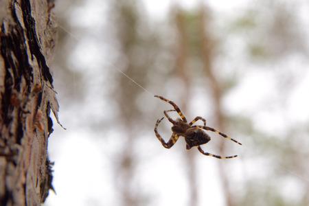 araneidae: Spider  Araneus hanging upside down on the web Stock Photo