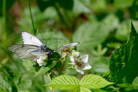 mating: Mating dance of butterflies cabbage white butterflies Stock Photo