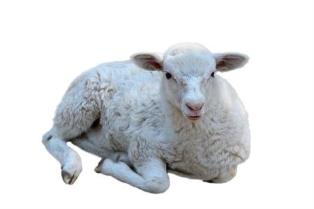 pecora: Sdraiato giovane pecore, isolato su un bianco Archivio Fotografico