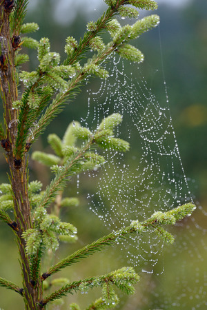 Water droplets on a spider web closeup