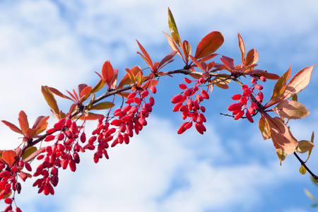 Branch barberry against the sky Stock Photo