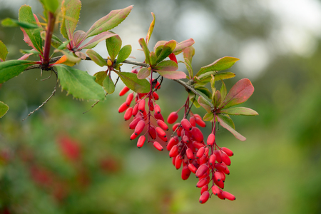Branch of a barberry close-up Stockfoto