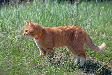 Standing in the grass red cat in a  orange pet collar Stock Photo