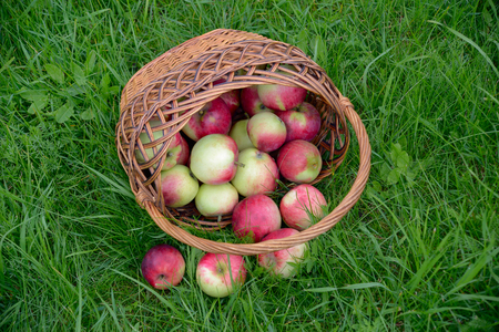 Red apples in a basket on a green lawn