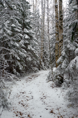Path in coniferous forest, covered with the first snow Stock Photo