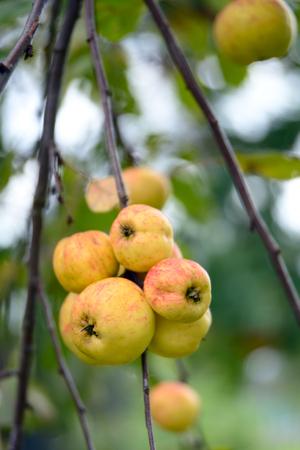 Yellow apples on an apple tree in autumn Stock Photo