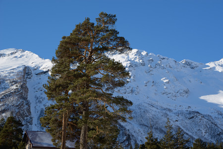 Pine top against the background of snow-covered mountains and blue sky