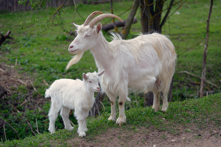 White goat and kid stand next to each other