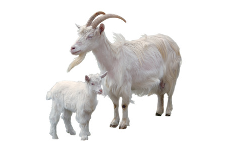 White goat and kid stand next to each other, isolated on white