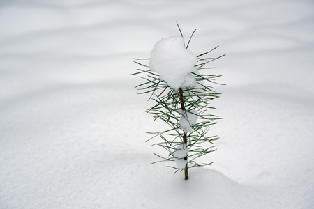 Small sprout of pine under the snow