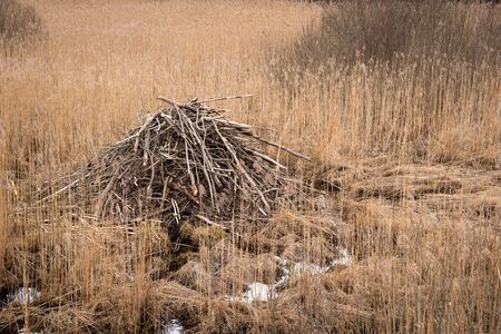 Spring landscape with beaver lodge among dry grass stems closeup