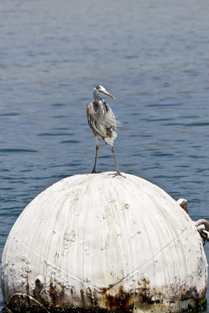 herodias: Great blue heron (Ardea herodias) standing on big sphere buoy