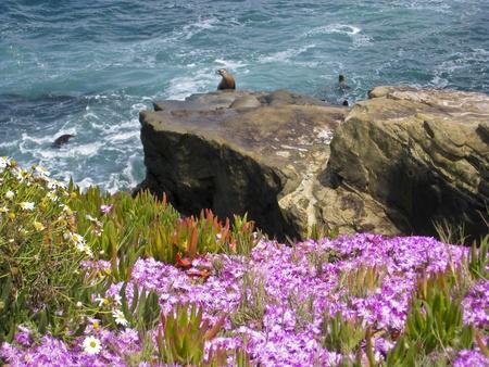 Sea Lions  on the Pacific Ocean Coast - La Jolla, San Diego, California photo