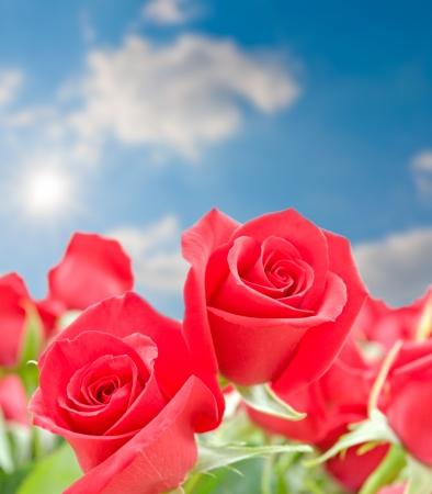 Flowers of red roses  on blurred blue sky background  selective focus photo