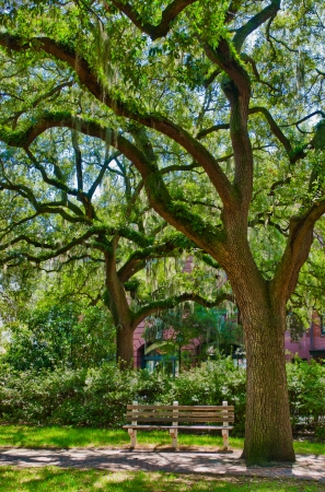 at town square: Oak tree with moss in Savannah square