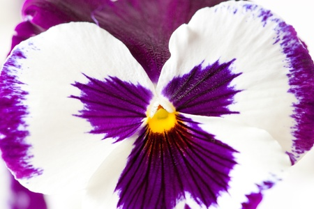 Close-up shot of white purple pansy flower  selective focus, shallow dof photo