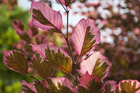 Multi-colored Beech Tree leaves close up.
