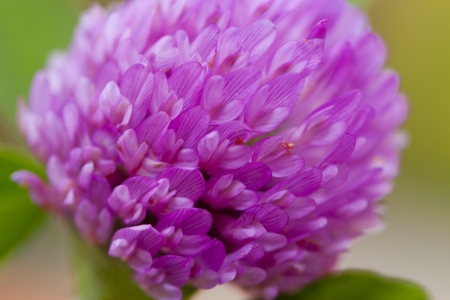 red clover: Red clover flower close up. Stock Photo