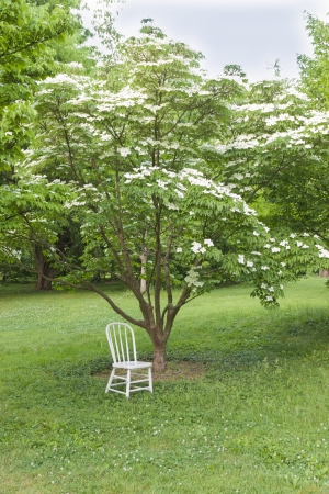 dogwood tree: White chair in the park. Ready for photo shoot.