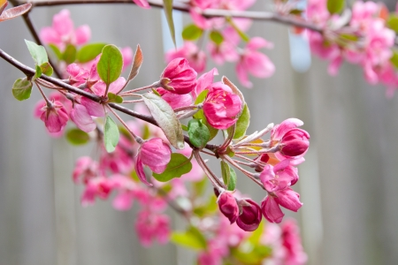 Branch of blossoming apple tree, spring background  selective focus  photo