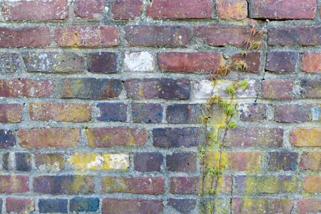 Old brick wall with ivy plant  photo