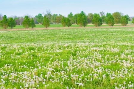 Field of dandelions at countryside. photo