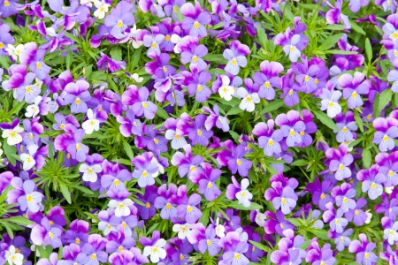 Colorful blue and violet pansy flowers. Nature background. photo