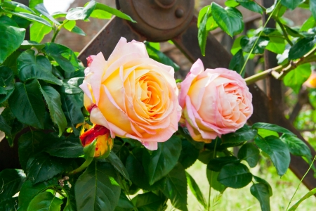Beautiful yellow pink roses in a garden  selective focus,  shallow dof photo