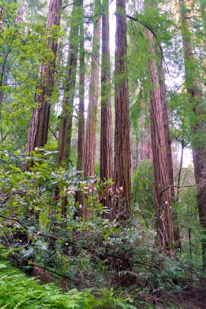 Redwood tree forest in California, USA Stock Photo - 21085556
