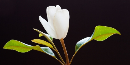 White magnolia flower on black background photo