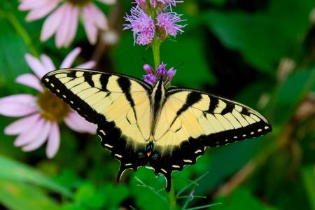 Beautiful Eastern Tiger Swallowtail butterfly  Papilio glaucus  feeding on flowers in a garden  Фото со стока