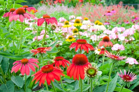 Colorful garden with echinacea flowers.  selective focus, shallow dof photo