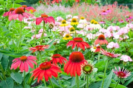 Kleurrijke tuin met echinacea bloemen. selectieve aandacht, ondiepe dof Stockfoto