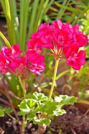 palustre: Magenta geranium flower. selective focus, shallow dof